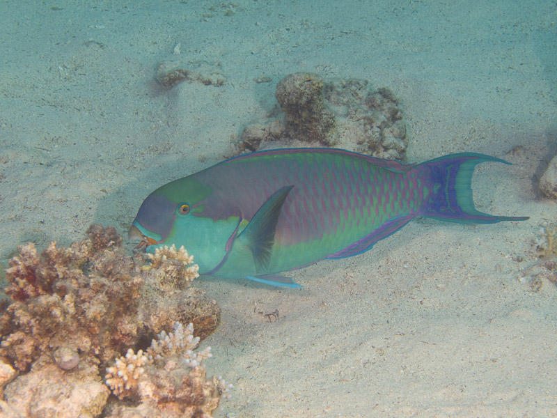 Photo at Canyon Coral Garden:  Heavybeak parrotfish