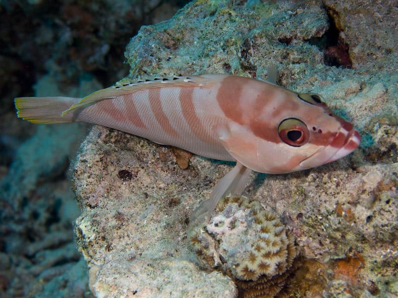 Photo at Canyon Coral Garden:  Blacktip grouper