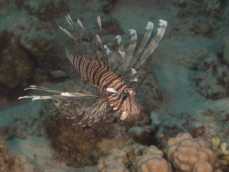 Photo at Canyon Coral Garden:  Devil firefish