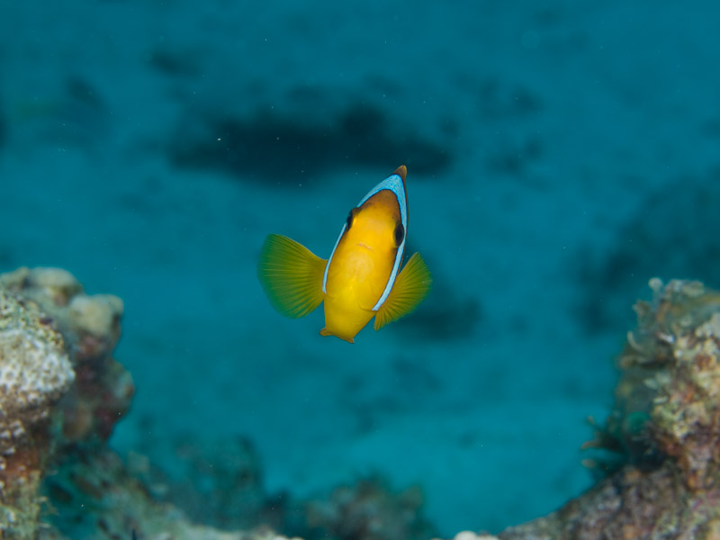 Photo at Canyon:  Twoband anemonefish