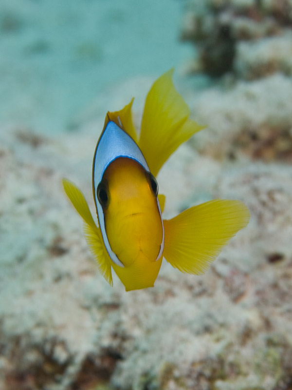 Photo at Canyon:  Twoband anemonefish