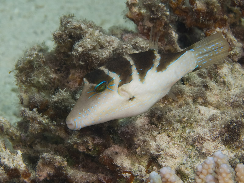 Photo at Canyon:  Crowned puffer