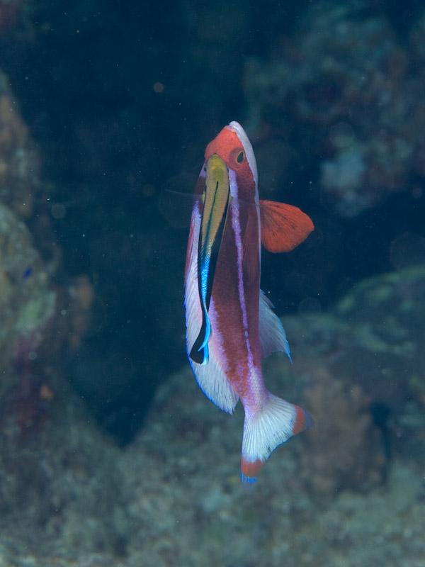 Photo at Els Bells / Blue Hole:  Bluestreak cleaner wrasse,Red Sea anthias