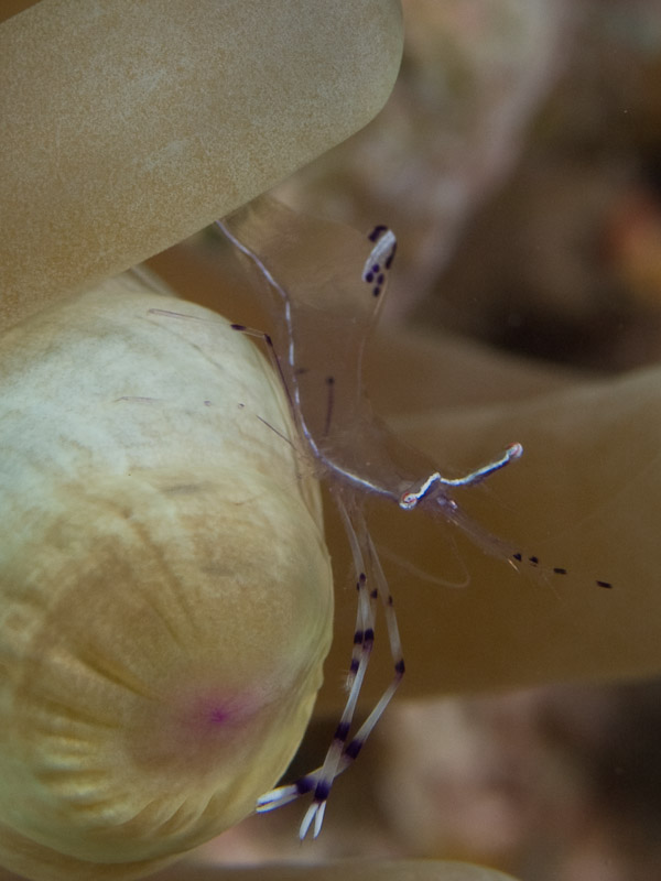 Photo at Els Bells / Blue Hole:  Long-arm cleaner shrimp