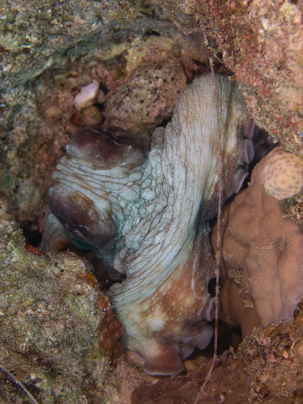 Photo at The Caves:  Reef Octopus