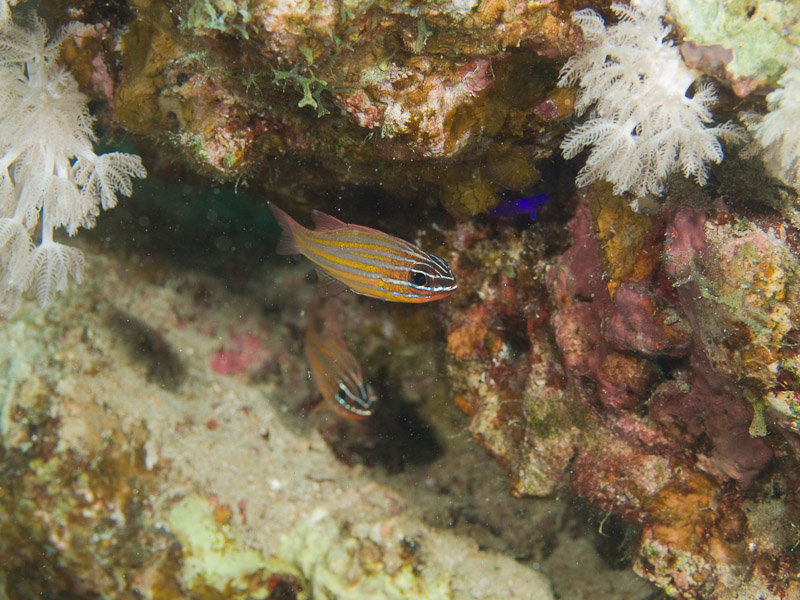 Photo at Moray Garden:  Yellowstriped cardinalfish