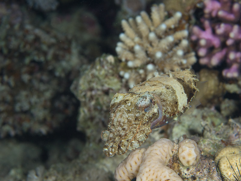 Photo at Lighthouse:  Hooded cuttlefish