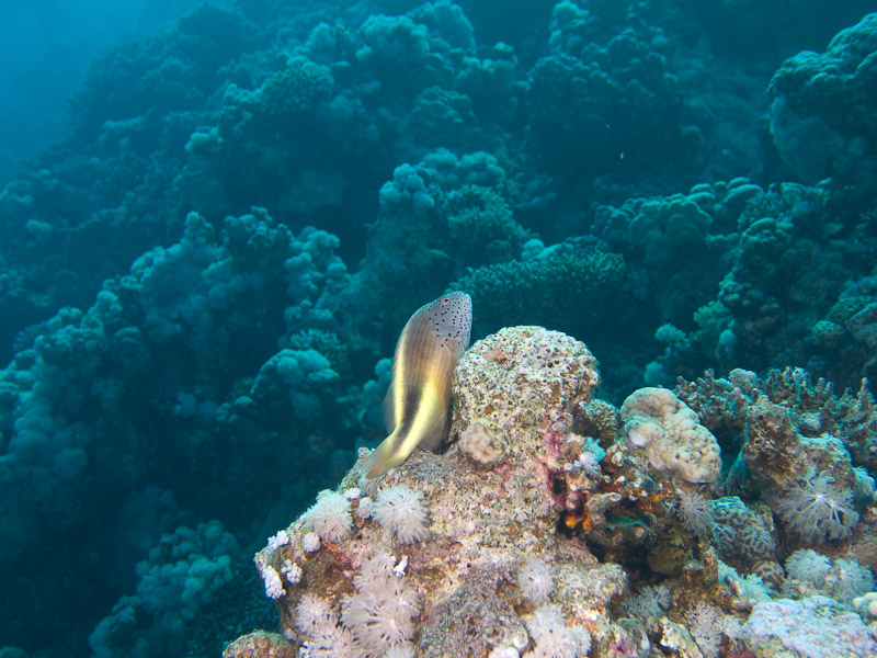 Photo at Blue Hole Coral Garden:  Blackside hawkfish