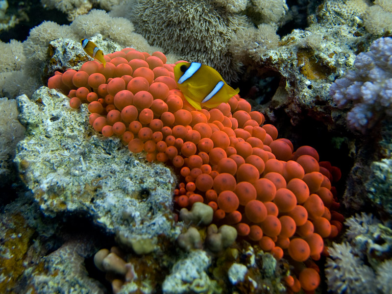 Photo at Blue Hole Coral Garden:  Twoband anemonefish