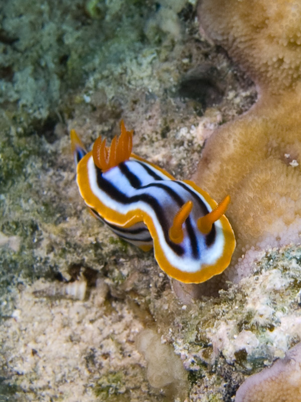 Photo at Blue Hole Coral Garden:  Pyjama chromodorid