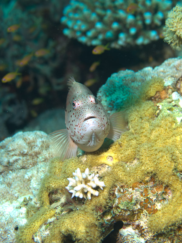 Photo at Eel Garden:  Blackside hawkfish