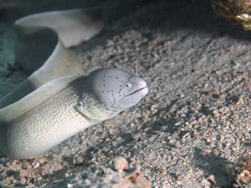 Photo at Eel Garden:  Geometric moray