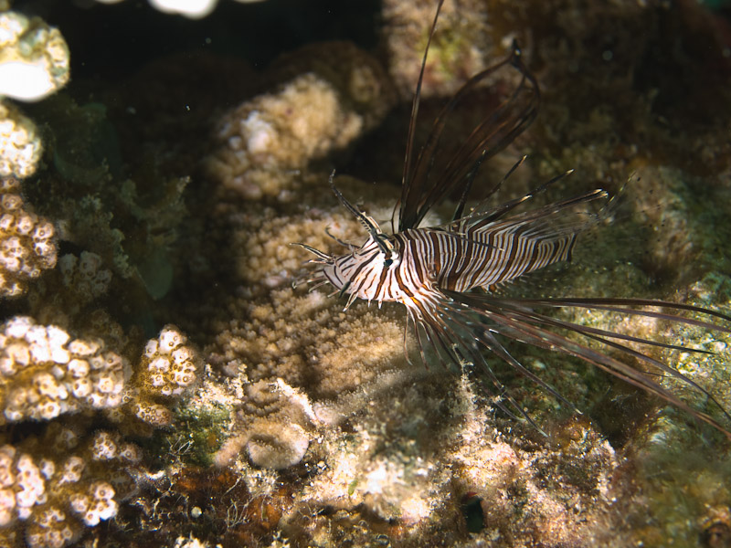 Photo at Eel Garden:  Devil firefish