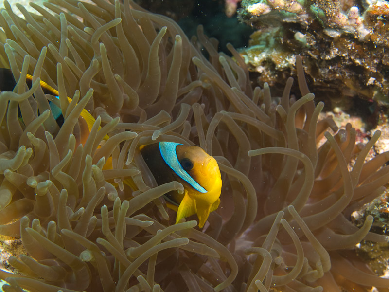 Photo at Eel Garden:  Twoband anemonefish