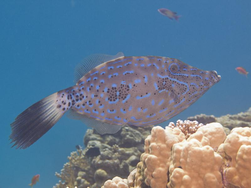 Photo at Eel Garden:  Scrawled filefish
