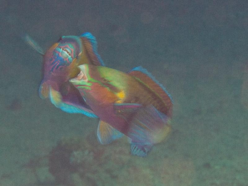 Photo at Rick's Reef:  Parrotfish