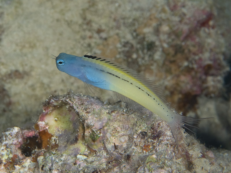 Photo at Rick's Reef:  Blackline fangblenny
