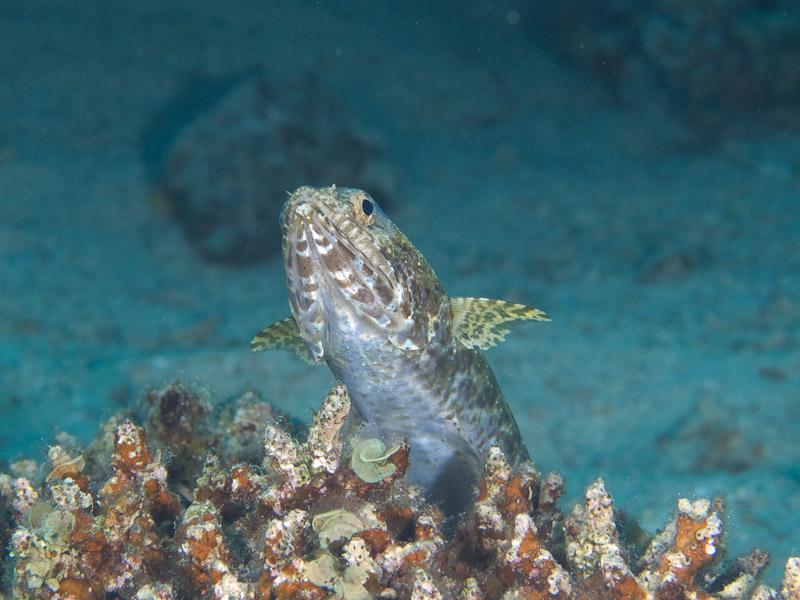Photo at Rick's Reef:  Gracile lizardfish