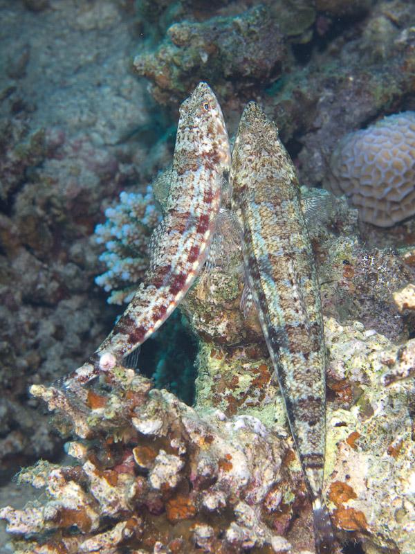 Photo at Rick's Reef:  Sand lizardfish