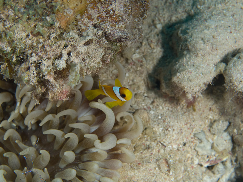 Photo at Rick's Reef:  Twoband anemonefish