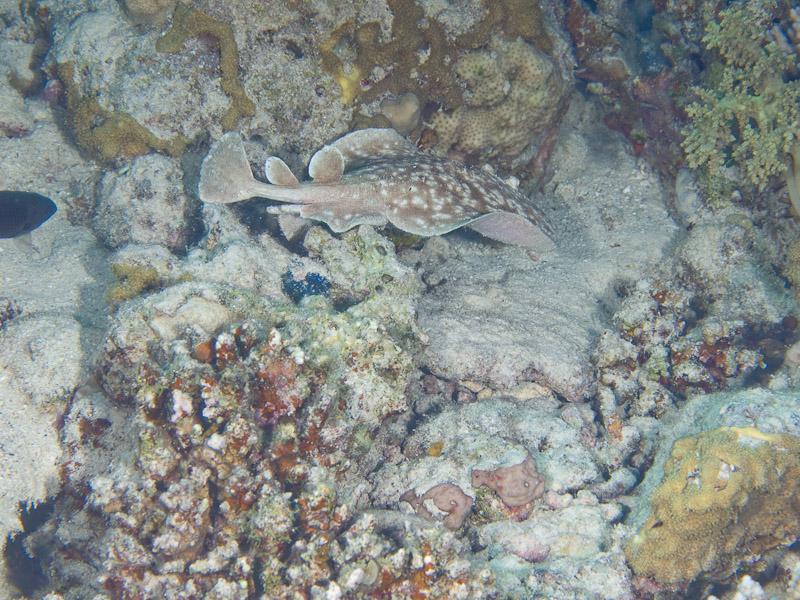 Photo at Rick's Reef:  Marbled electric ray