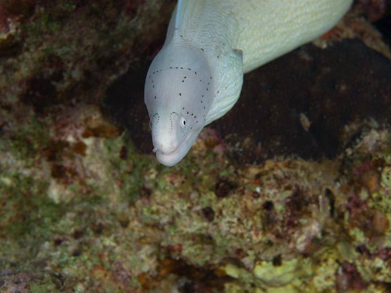 Photo at Rick's Reef:  Geometric moray