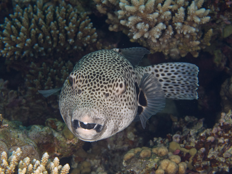 Photo at Rick's Reef:  Starry toadfish