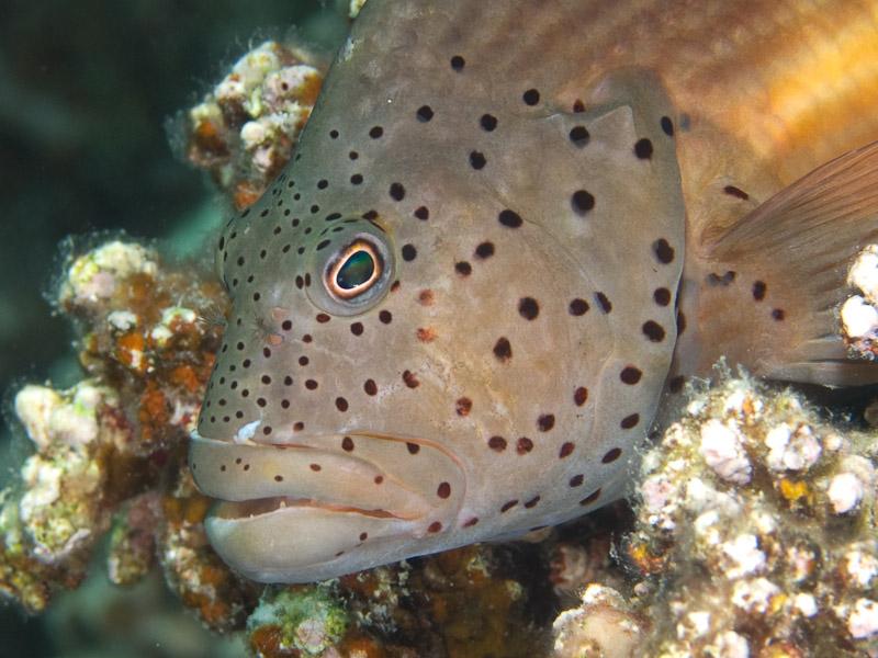 Photo at Rick's Reef:  Blackside hawkfish