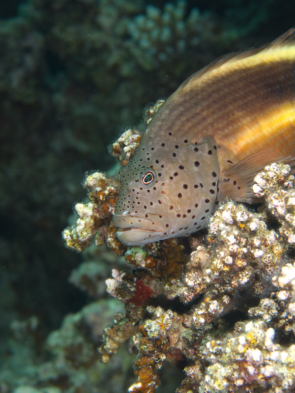Photo at Rick's Reef:  Blackside hawkfish
