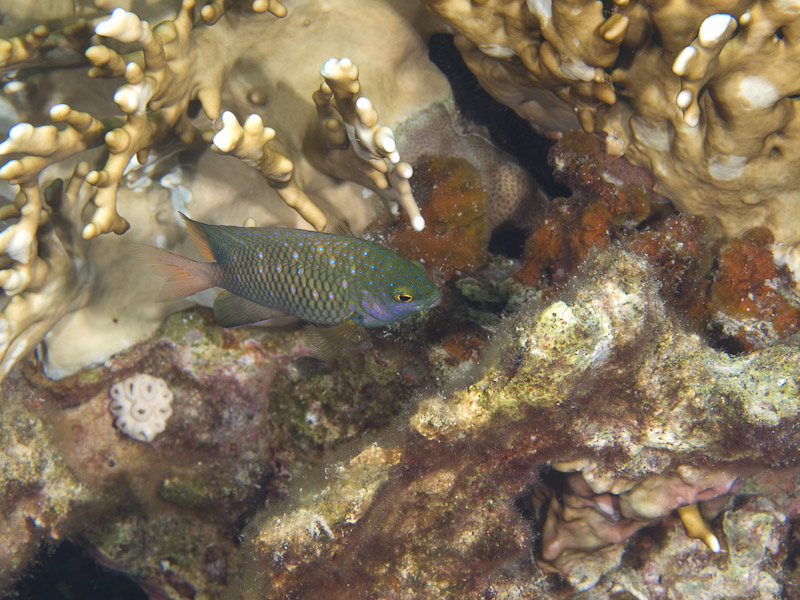Photo at Rick's Reef:  Whitespotted devil