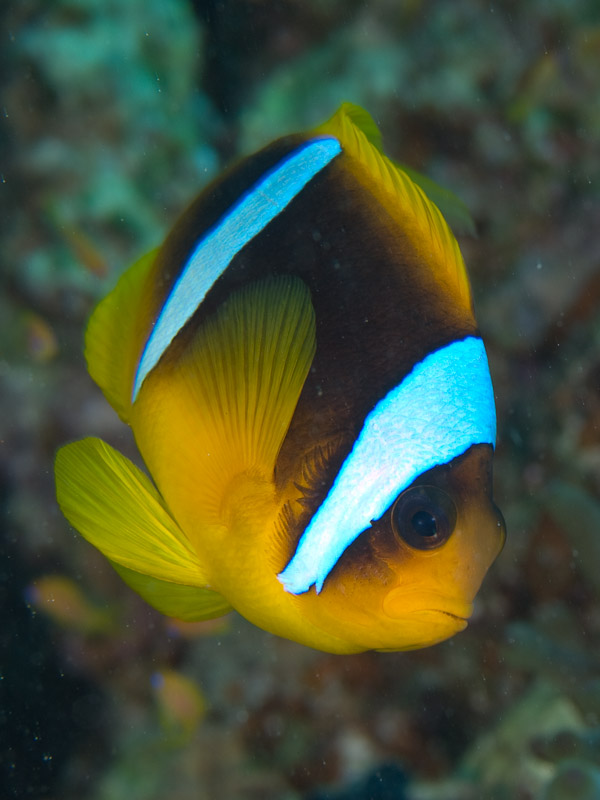 Photo at Moray Garden:  Twoband anemonefish