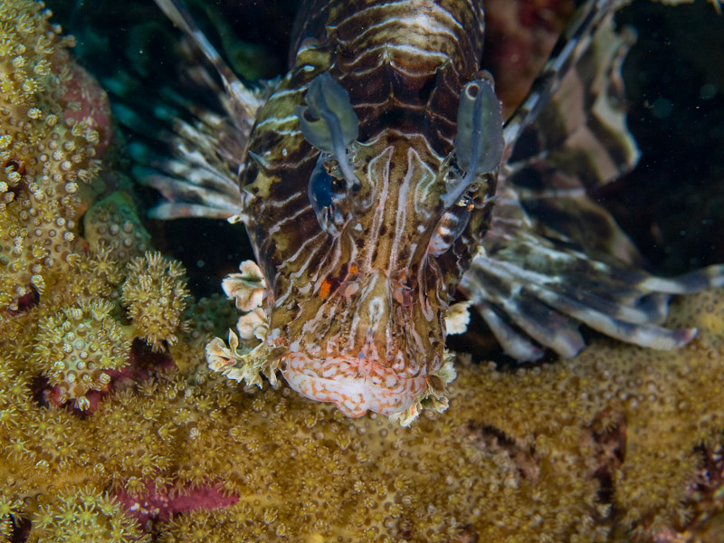 Photo at Um Sid:  Devil firefish