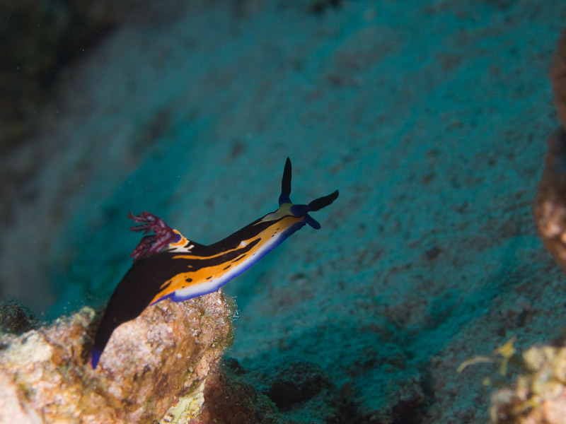 Photo at Um Sid:  Red Sea nembrotha
