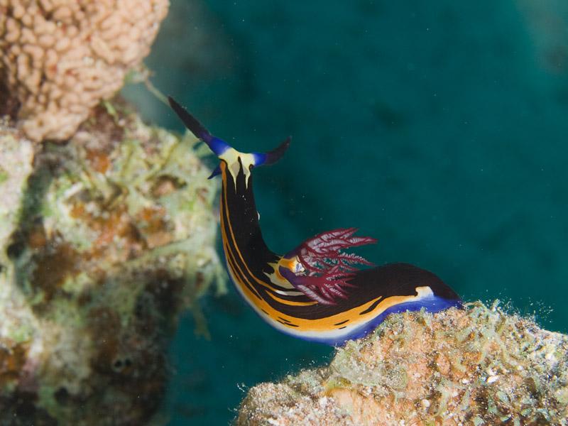 Photo at Um Sid:  Red Sea nembrotha
