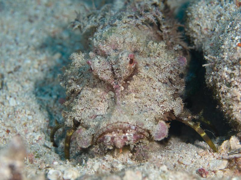 Photo at Um Sid:  Two-stick stingfish