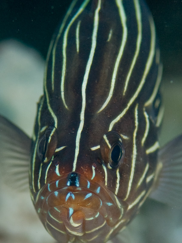 Photo at Um Sid:  Sixline soapfish