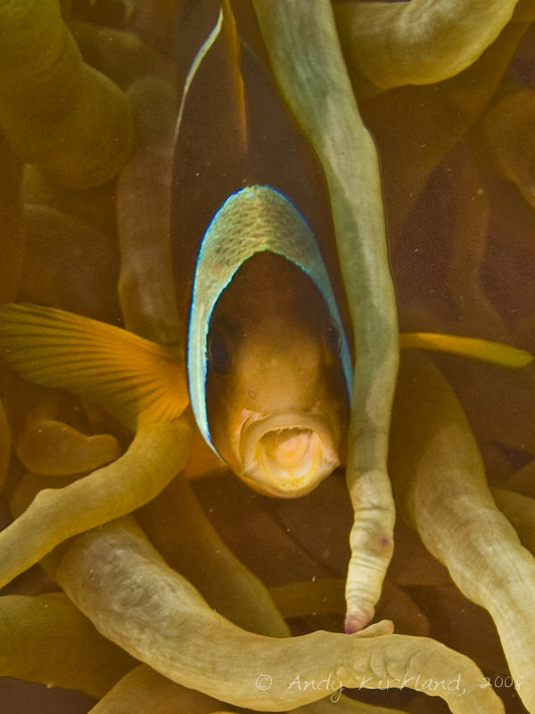 Photo at Lighthouse:  Twoband anemonefish