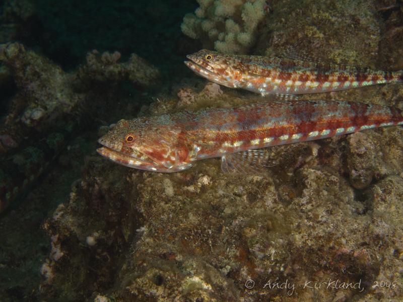Photo at Lighthouse Left:  Sand lizardfish