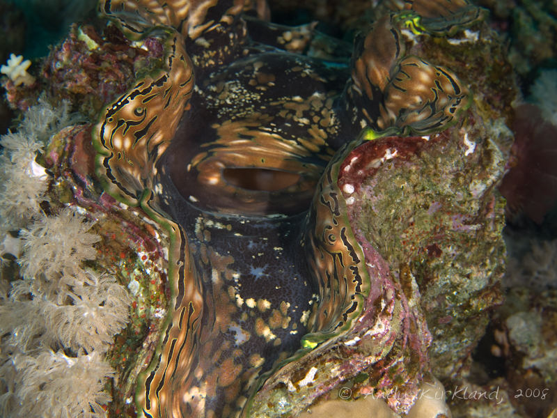 Photo at Moray Garden - South:  Giant Clam