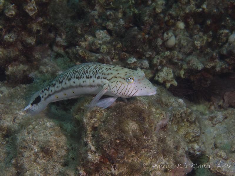 Photo at Moray Garden - South:  Speckled sandperch
