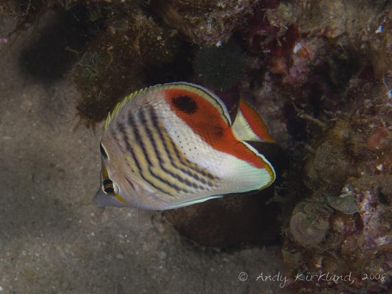 Photo at Moray Garden - North:  Eritrean butterflyfish