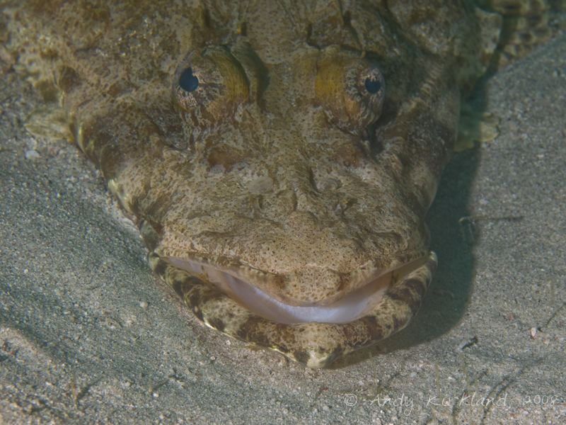 Photo at Moray Garden - North:  Tentacled flathead