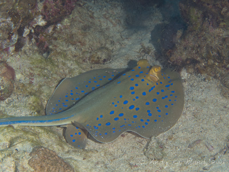 Photo at Moray Garden - North:  Bluespotted ribbontail ray