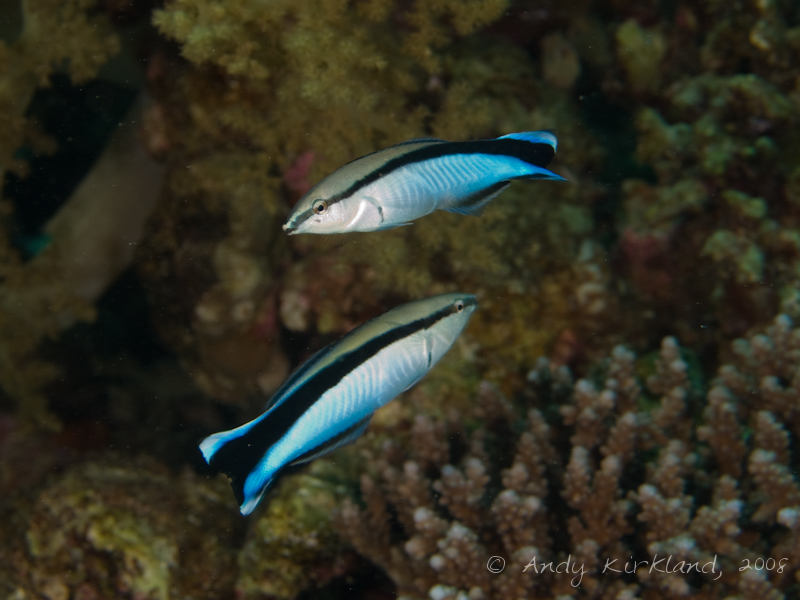Photo at Moray Garden - North:  Bluestreak cleaner wrasse