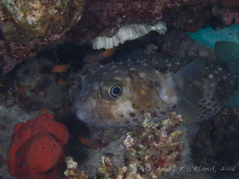 Photo at Moray Garden - North:  Spotbase burrfish