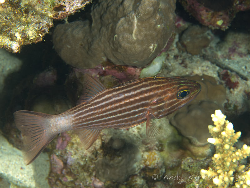 Photo at Moray Garden - North:  Large toothed cardinalfish