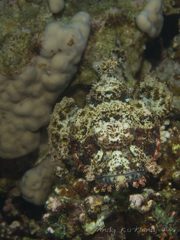 Photo at Moray Garden - North:  Bearded scorpionfish