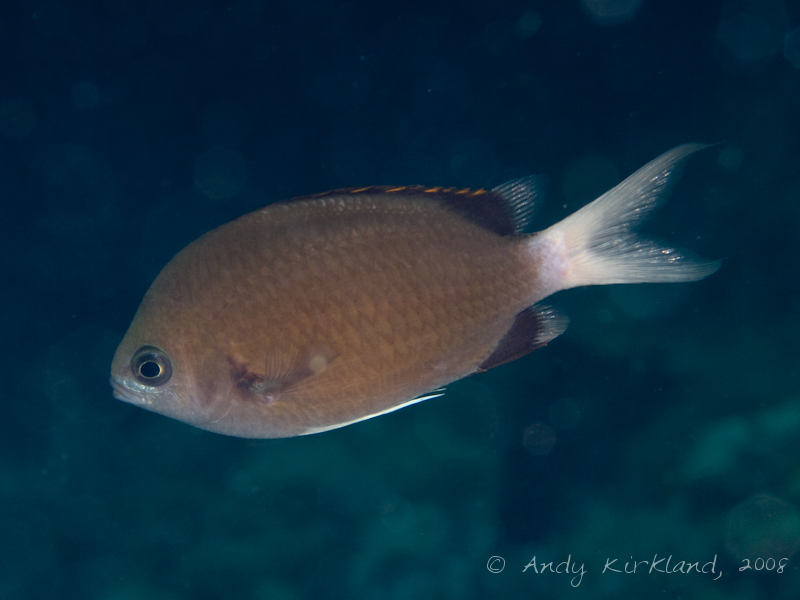 Photo at Moray Garden - North:  Pemba chromis