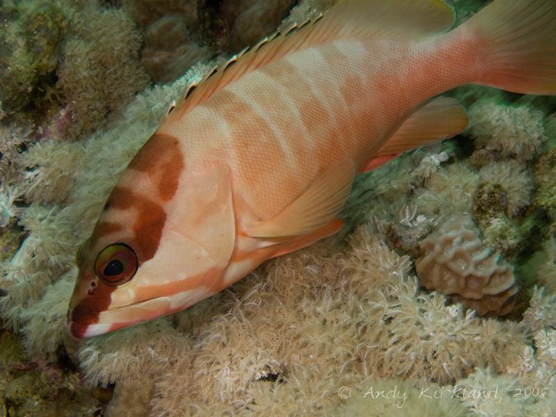 Photo at Moray Garden - North:  Blacktip grouper