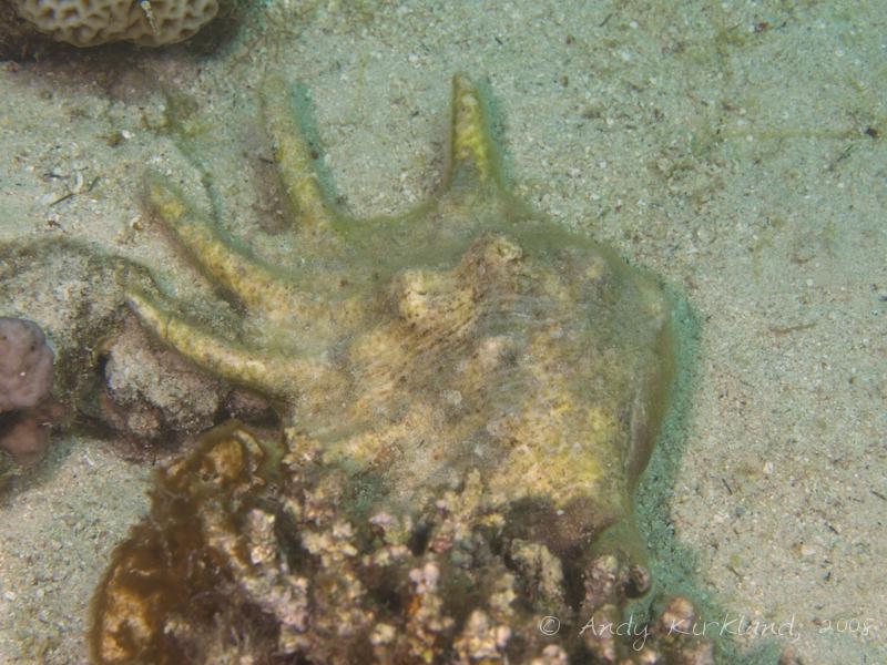 Photo at Moray Garden - North:  Seba's Spider conch